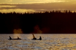 A pod of Orcas surface in the light of the sunset off Northern Vancouver Island in British Columbia, Canada.