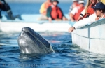 Pictures of Mexico, Gray Whales, Baja California, Mexico