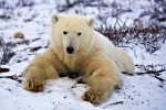 As winter arrives in the Churchill Wildlife Management Area in Churchill, Manitoba, a Polar Bear spends time relaxing on the cold ground which has been blanketed with snow.