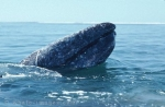 Gray Whale of the Baja California, Mexico - Save the Whales