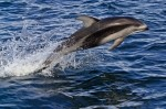 Photos of Sea Creatures, Pacific White-sided Dolphin