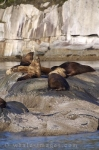 Pictures of Sea Mammals, Steller Sea Lions, British Columbia.