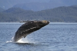 Breaching Humpback Whale in