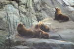 Steller Sea Lions along the coast of British Columbia, Sealion