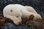 A sleeping Polar Bear in the Churchill Wildlife Management Area in Manitoba, Canada is a picture worth a thousand words but let it be known that they are still aware of their surroundings.