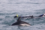 New Zealand has so much to offer including snorkeling with the dolphins in Kaikoura on the South Island.