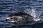 White Sided Dolphin, speed King in its element