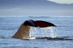 Sperm Whales best seen off the New Zealand coast