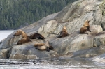 Steller Sea Lion along the mid-coast of British Columbia