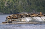 Steller Sea Lions along the mid-coast of British Columbia in Canada.