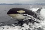 An Orca whale enjoys surfing in the wake of a boat and provides onlookers with a close-up view as she comes up for air off Vancouver Island.