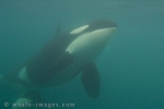 Orca whale swimming in its underwater world, the Pacific Ocean.