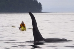 Johnstone Strait of Northern Vancouver Island is THE location for kayaking. with Killer Whales