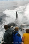 Passengers aboard a whale watching boat catch a close up of a male Orca wake riding off Northern Vancouver Island in British Columbia, Canada.