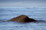 Whale Pictures showing a Sperm Whale in Kaikoura Bay