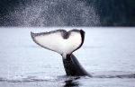 Whale Tail of a Killer Whale