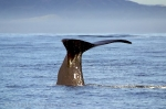 Sperm Whales showing classic Whale Tail Pics