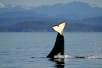 Whale Tails of Transient Killer Whales
