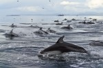 Photos of Wild Dolphins , Pacific White-sided Dolphin