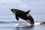 Wildlife Photos showing a breaching Killer Whale female