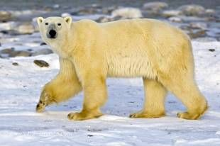 The polar bear is probably the most known arctic animal and is often used as a symbol for global warming.