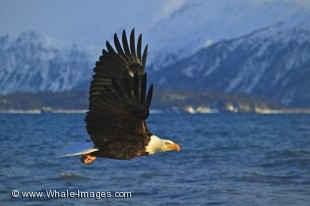 In its natural habitat in Homer, Alaska in the USA, a Bald Eagle flies just above the surface of the water with a backdrop of the snowy mountains, a sign winter is arriving.