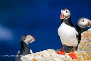 The Atlantic Puffin is probably the cutest member of the seabird species and is often called