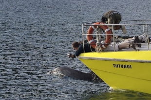 As a Bottlenose Dolphin swims within feet of the bow of a dolphin watching vessel in the Bay of Islands, New Zealand, passengers lay flat across the bow to capture the best pictures.