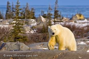 A canadian polar bear walking along the scenic landscape at the Hudson Bay near Churchill in manitoba, Canada
