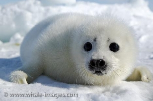 A cute baby Harp Seal waits patiently on the ice for the return of its mother near the Gulf of St. Lawrence in Canada.