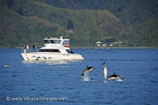 Take a boat tour with Encounter Kaikoura Dolphin Watching and find yourself in awe of the performances of the Dusky Dolphins in the waters off the coast of Kaikoura on the South Island of NZ.