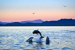 Three jumping Pacific White Sided Dolphins just after sunset with beautiful scenery of the British Columbia Mountains.