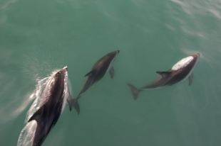 Three Dusky Dolphins give passengers aboard a dolphin watching tour with Encounter Kaikoura a close up view while visiting the South Island of New Zealand.