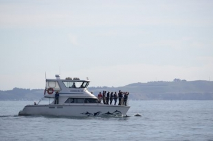On a dolphin watching trip with Encounter Kaikoura, Dusky Dolphins swim around the bow so that passengers can get a close look at these cute animals.