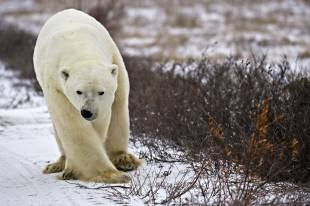 A Polar Bear which belongs to the endangered species walking in the arctic tundra looking for food.