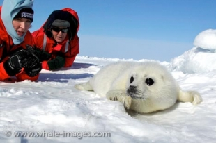 A picture of a cute Harp Seal on the ice floe on the Gulf of St. Lawrence being watched over by Heather Mills McCartney and her husband Paul McCartney.