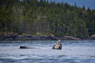 A mother and her baby playing in Blackfish Sound off Hanson Island on a beautiful calm day,British Columbia, Canada.