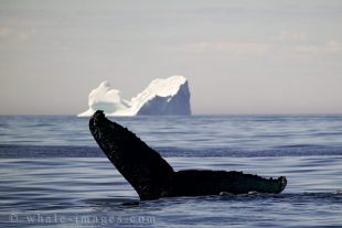 Whale diving in front of an large Iceberg, Ice Cube