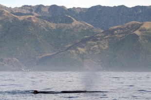 Sperm Whale in Kaikoura Bay off the south island of New Zealand