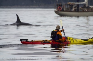 Kayaking with Orca Whales is a popular tourist activity off Vancouver Island in British Columbia, Canada