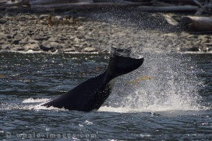 A Killer Whale flicks kelp in the air with its tail in British Columbia, Canada.