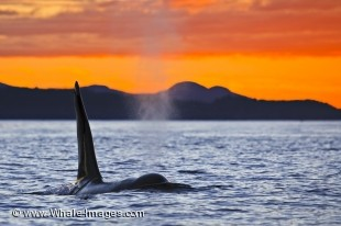 As a whale watching tour heads home in Weyton Pass off Northern Vancouver Island, a lone male Orca surfaces beneath the beautiful sunset sky.