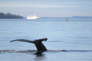 Humpback Whale and Cruise ship on Ocean Avenue