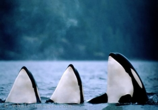 3 Orca Whales spyhopping, thats Ocean Life pure!