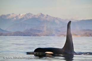 Photo of a large male Killer Whale sourrouded by beautiful scenery.