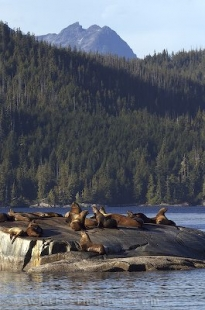Pictures of Marine Mammals, Steller Sea Lions, British Columbia