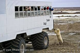 Churchill in northern Manitoba, Canada is known for one of the very best polar bear tours with the famous arctic tundra buggy.