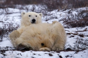 As cute as this Polar Bear looks giving himself a massage on the winter landscape in the Churchill Wildlife Management Area in Manitoba, Canada, he can be extremely dangerous.