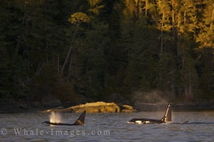 Orca spend a lot of time cruising the shore off Northern Vancouver Island in British Columbia where they find a lot of tasty meals.