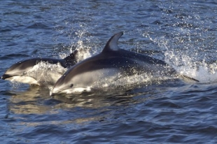 Two Pacific White Sided Dolphins almost look like two speeding torpedoes racing through the surface of the ocean.